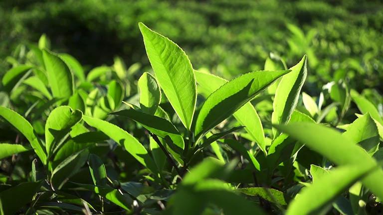 Cách chữa viêm da cơ địa tại nhà bằng lá trà xanh mang lại nhiều hiệu quả