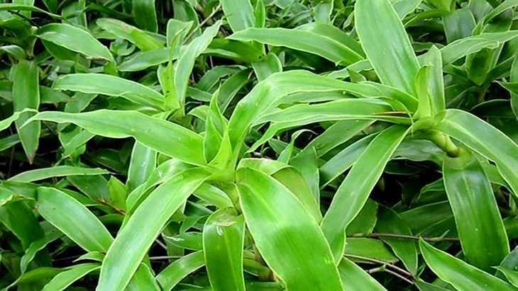 Trị đau họng tại nhà bằng cây lược vàng hiệu quả