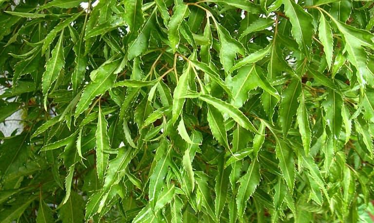 Điều trị viêm da tiết bã bằng lá đinh lăng