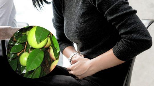 Chữa đau dạ dày bằng lá vú sữa là phương pháp được nhiều người quan tâm