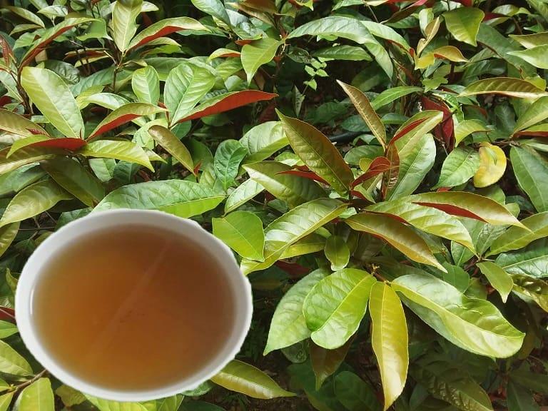 Bài thuốc chữa viêm da dị ứng bằng lá cây đơn đỏ
