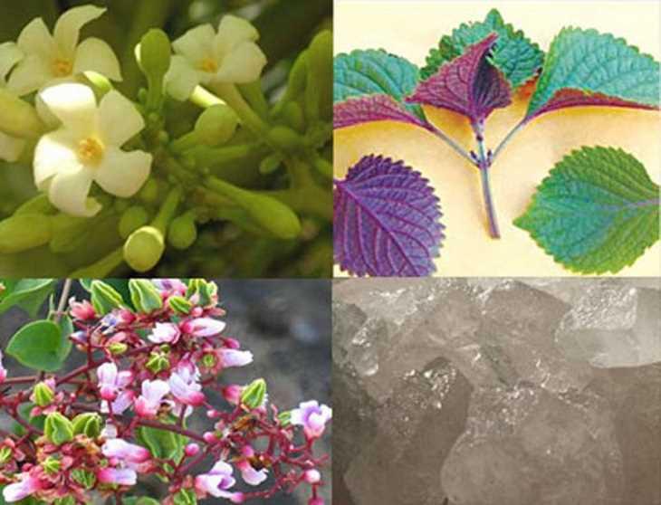 Lá tía tô kết hợp hoa đu đủ đục và hoa khế hỗ trợ giảm đau họng, rát cổ