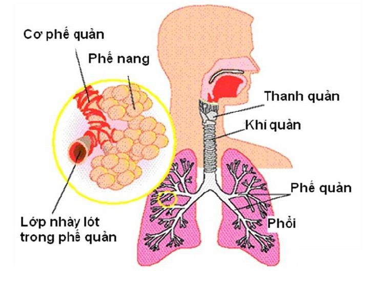 Hình ảnh khí quản trong hệ thống hô hấp