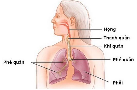 Nhận biết vị trí của phế quản trong hệ thống hô hấp