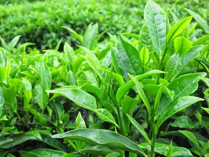 Lá trà xanh không chỉ chữa viêm vùng chậu mà còn ngăn ngừa biến chứng ung thư