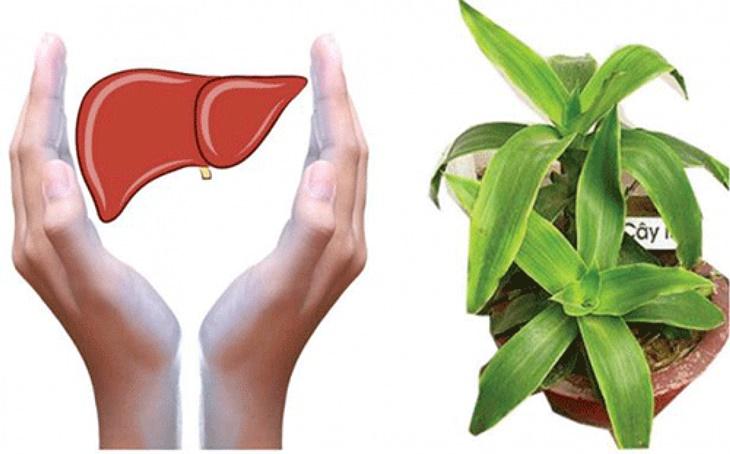 Bài thuốc từ cây lược vàng trị bệnh gan cho hiệu quả bất ngờ