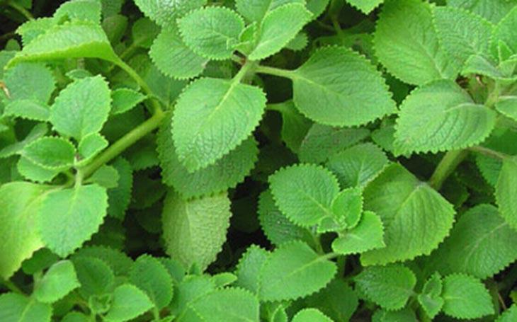 Cây rau tần là vị thuốc chữa viêm amidan hiệu quả