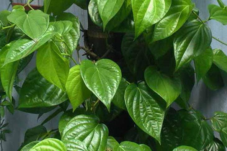 Chữa mề đay bằng lá trầu được chứng minh đem lại hiệu quả khó ngờ