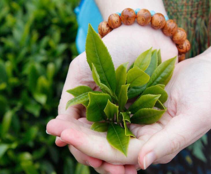 Đánh bay mọi mụn nhọt chỉ với một nắm lá trà xanh mỗi ngày