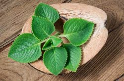 Chữa viêm amidan bằng lá rau tần được nhiều người bệnh áp dụng
