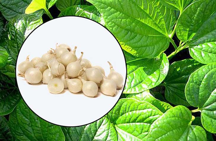 Kết hợp lá trầu không và hạt củ nén để điều trị viêm amidan