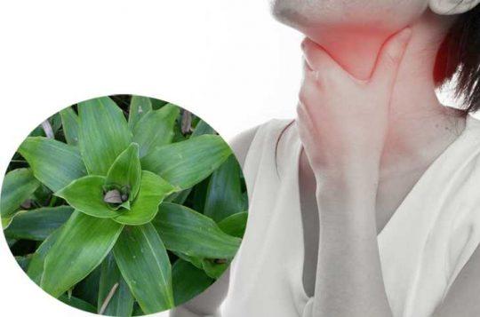 Nhai trực tiếp cây lược vàng để các hoạt chất thấm sâu vào tế bào vòm họng