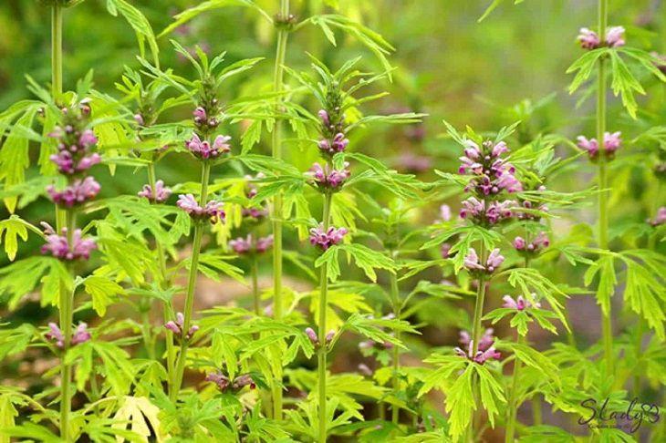 Ích mẫu là vị thuốc Đông y được sử dụng nhiều trong các bài thuốc chữa viêm lộ tuyến