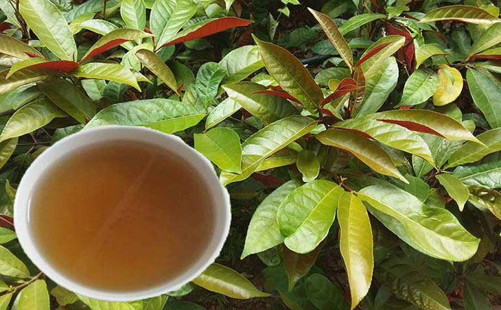 Uống trà lá đơn đỏ giải độc, tiêu viêm hết mẩn ngứa mề đay