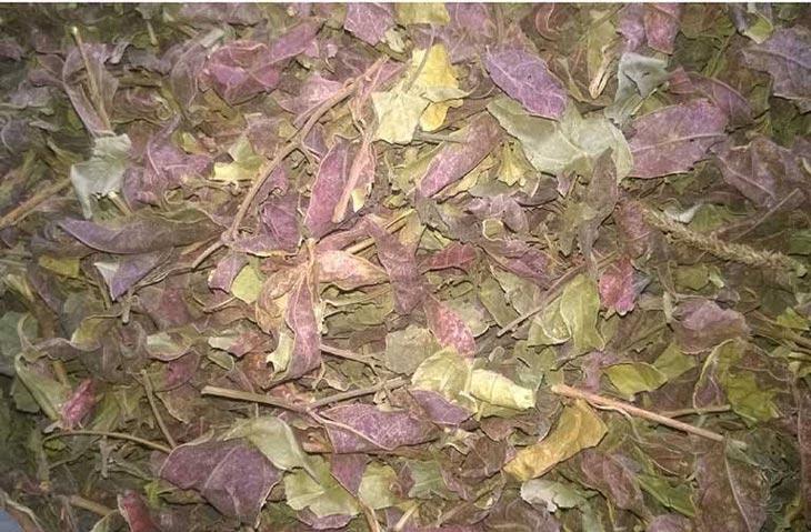 Phơi khô cây đơn lá đỏ trị mề đay