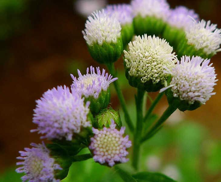 Hoa ngũ sắc là một trong những cây thuốc chữa bệnh viêm xoang