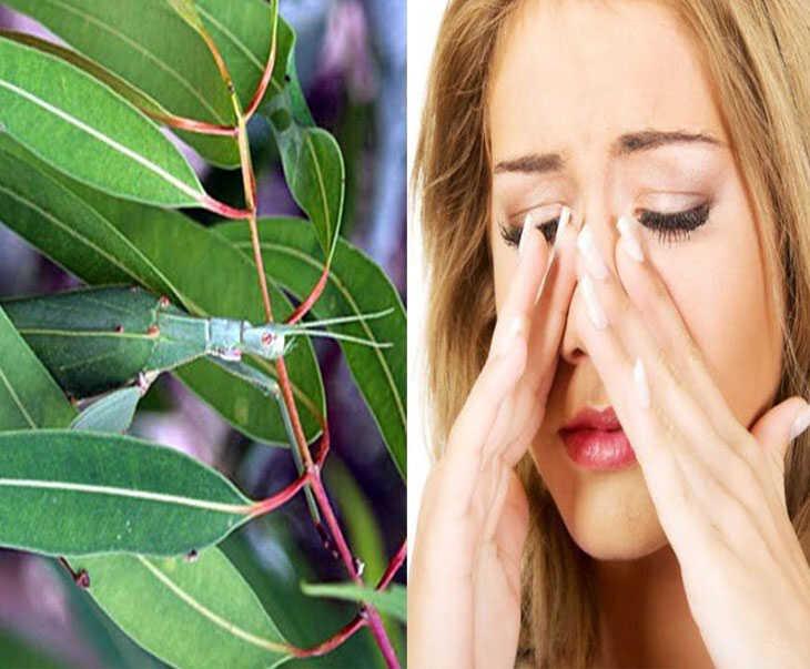 Thảo dược chữa viêm xoang từ lá bạch đàn không chỉ điều trị bệnh mà còn cải thiện đường hô hấp tốt hơn