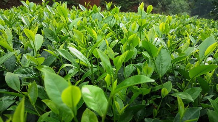 Cách chữa viêm cổ tử cung tại nhà an toàn và đạt kết quả cao nhờ lá trà xanh