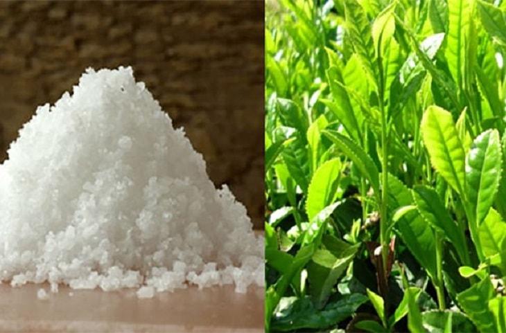 Kết hợp lá trà xanh cùng muối hạt để xông vùng kín