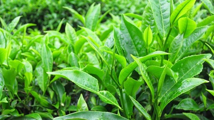 Từ lâu đời, nhiều người đã biết cách sử dụng lá trà xanh để chữa bệnh