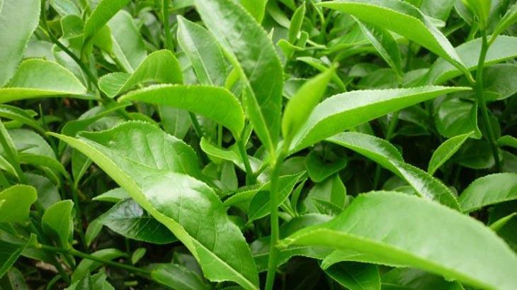 Chị em có thể sử dụng nước lá trà xanh để trị bệnh