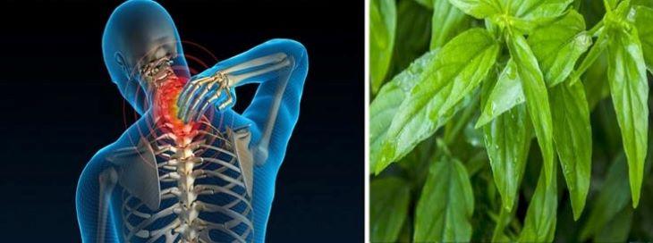 Người ta có thể dùng cây bìm bịp để chữa các bệnh thoái hóa cột sống rất hiệu quả