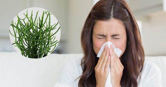 Cây giao chữa viêm mũi dị ứng và cách thực hiện