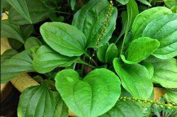 Tìm hiểu về cây mã đề - Dược liệu quý được thiên nhiên ban tặng