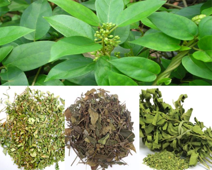 Người ta chủ yếu phân loại cây thìa canh dựa trên trạng thái khô và tươi
