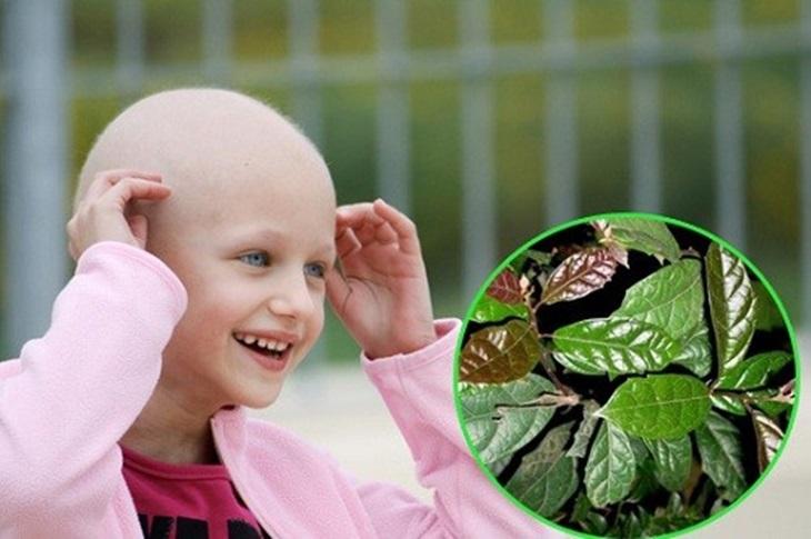 Lá xạ đen giúp hỗ trợ trị bệnh ung thư rất hiệu quả