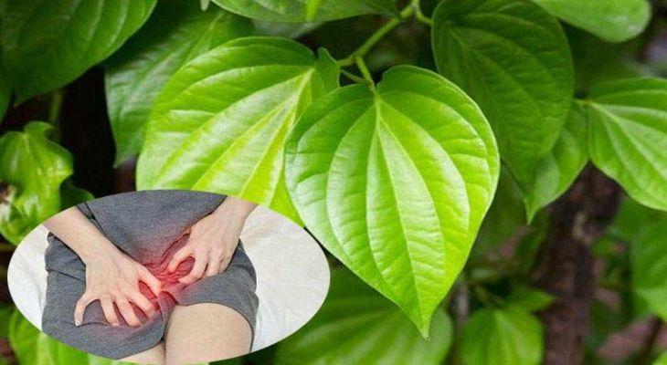 Nhiều người băn khoản về cách chữa nấm candida bằng lá trầu không