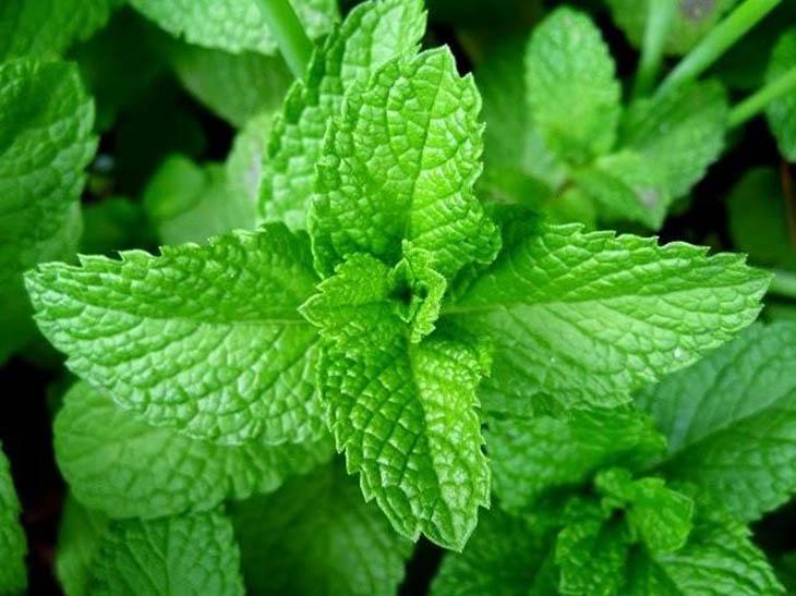 Chữa viêm mũi dị ứng bằng lá cây húng chanh sẽ loại bỏ các tình trạng khó chịu