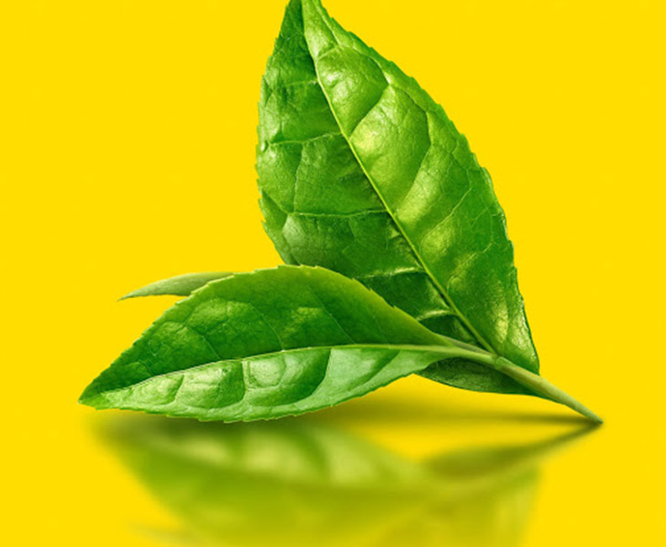 Lá trà xanh có tác dụng kháng khuẩn tốt, rất hiệu quả khi điều trị nấm candida tự nhiên tại nhà