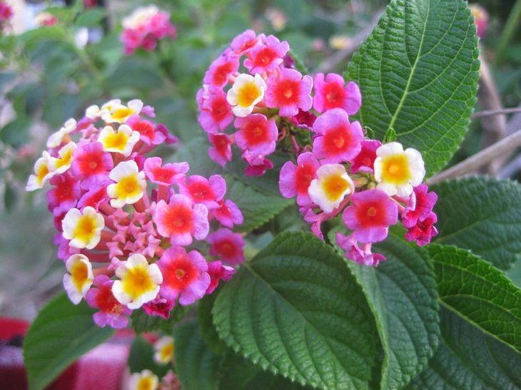 Hoa ngũ sắc là loại cây phổ biến, rất dễ tìm kiếm mà không mất chi phí nào
