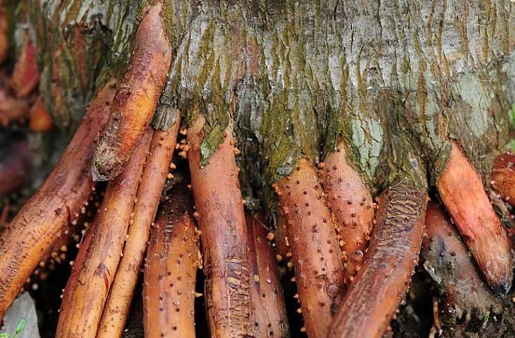 Những lưu ý quan trọng khi dùng rễ cau chữa yếu sinh lý ai cũng cần biết