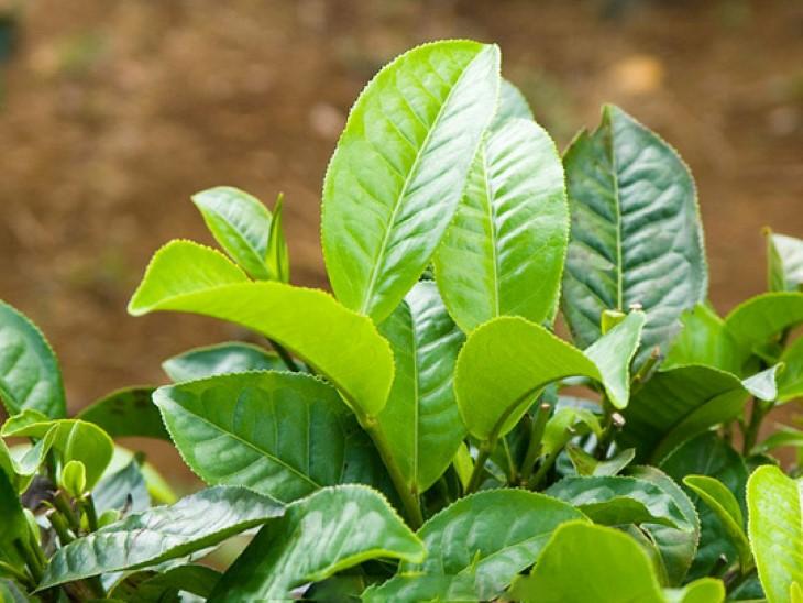 Lá trà xanh có khả năng làm sạch, sát khuẩn, giúp giảm ngứa và loại bỏ vi khuẩn trên da