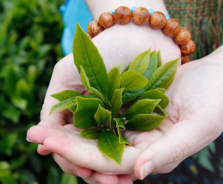 Các hoạt chất chống viêm trong lá trà xanh sẽ làm dịu vết thương, giảm cơn ngứa