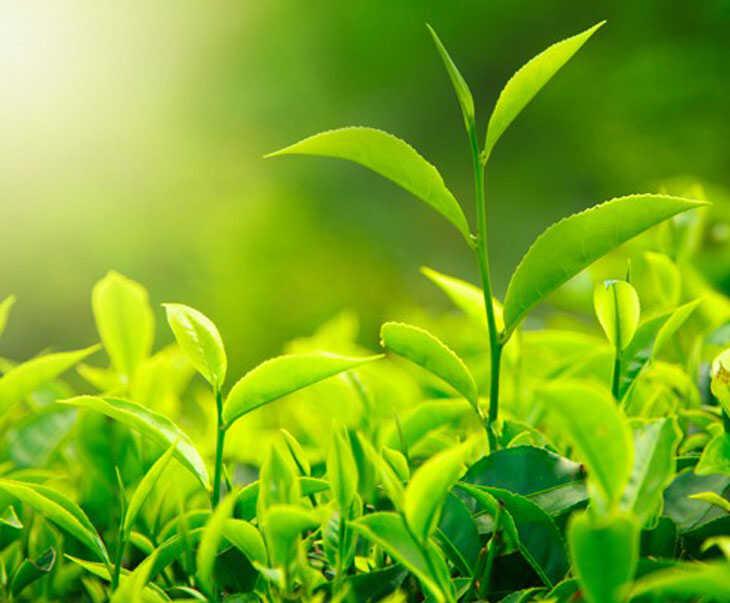 Lá trà xanh có khả năng kháng khuẩn, kháng viêm tốt