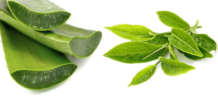 Trị huyết trắng bằng lá trà xanh kết hợp nha đam