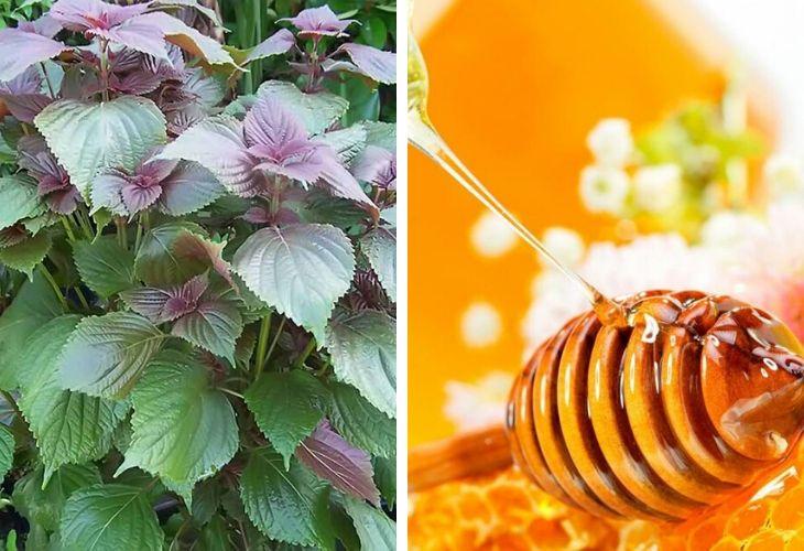 Trị mụn ẩn bằng lá tía tô và mật ong