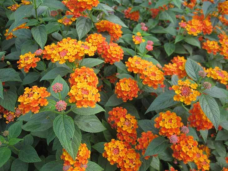 Hoa ngũ sắc là một trong những dược liệu quen thuộc để chữa bệnh