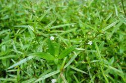 Bạch hoa xà thiệt thảo - Công dụng, cách dùng và giá bán