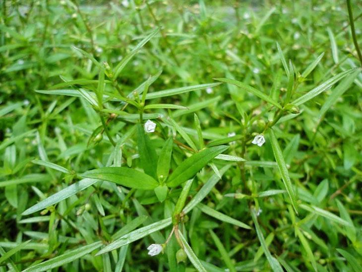 Hình ảnh cây bạch hoa xà thiệt thảo trong thiên nhiên