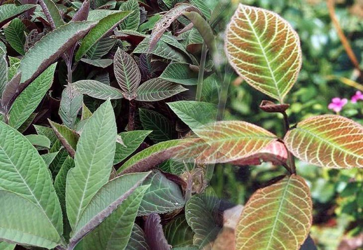 Lá khôi tía có nhiều tác dụng trong việc điều trị vi khuẩn HP