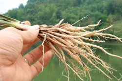 Trị suất tinh sớm bằng thuốc nam với cây sâm cau có tốt không?