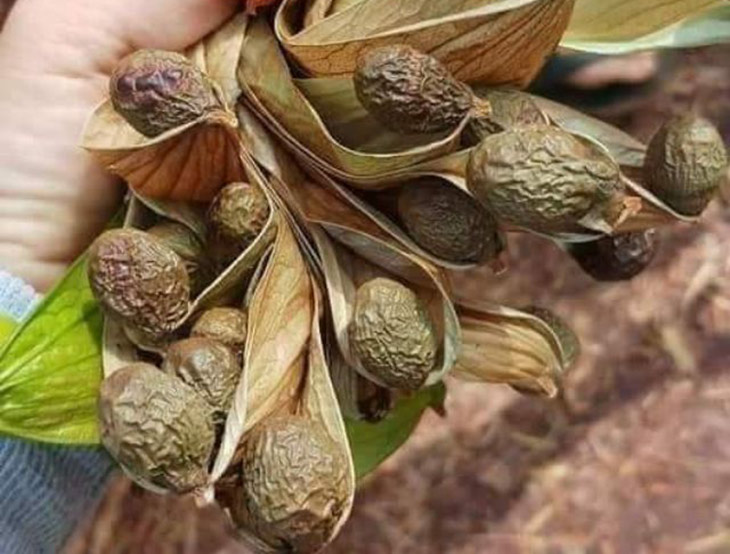 Hình ảnh hạt đười ươi khô tự rụng trong thiên nhiên