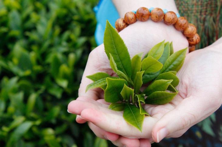 Lá trà xanh tươi cũng là một nguyên liệu trị mụn mủ sưng to phổ biến