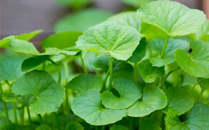 Một trong những thành phần chính của sản phẩm là chiết xuất rau má