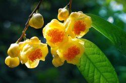 Trà hoa vàng - tác dụng và những cách dùng hiệu quả nhất