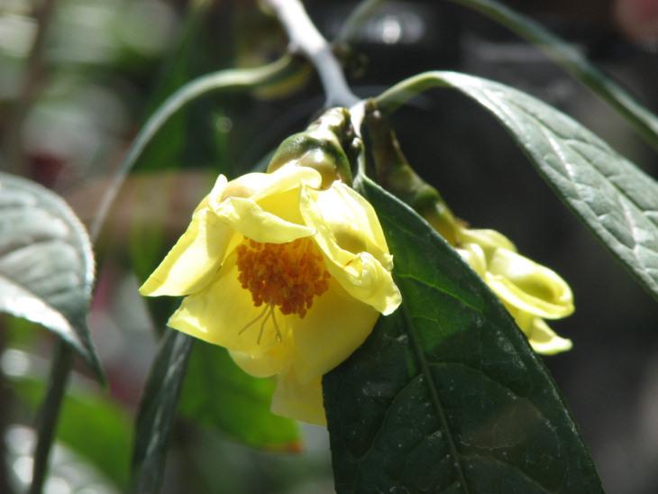 Sử dụng trà hoa vàng mang lại nhiều công dụng tốt cho sức khỏe